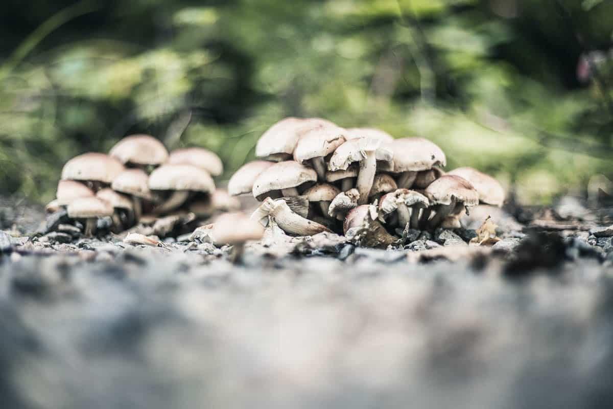 Mushrooms in the soil