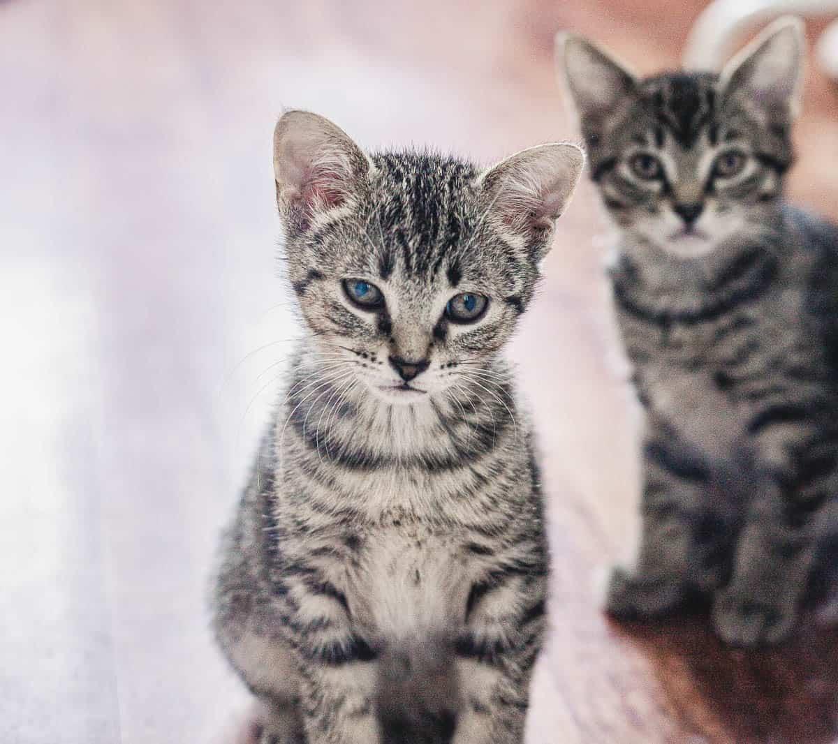 Deux chatons tigrés